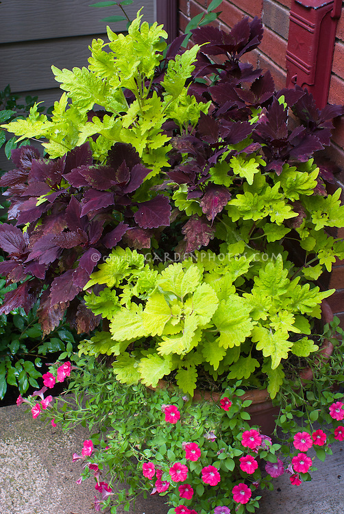 Coleus and calibrachoa in clay terracotta pot plant flower stock photography - Best flower combinations for containers ...
