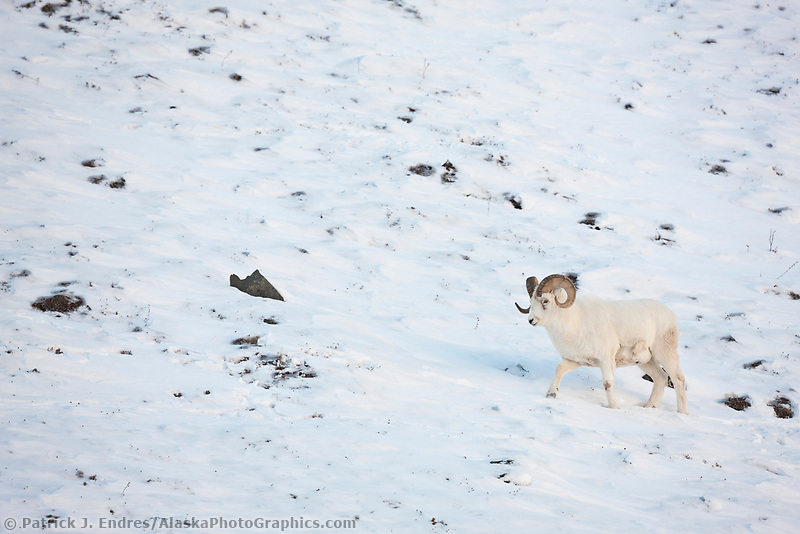 Dall sheep ram walks in the snow along the Brooks Range mountains in Atigun canyon.