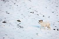 Dall sheep ram walks in the snow along the Brooks Range mountains in Atigun canyon.