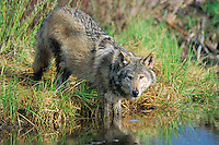 Gray Wolf or Timber Wolf (Canis lupus) standing in edge of a beaver pond.
