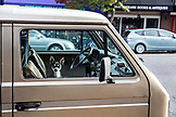 USA, Oregon, Ashland, a small dog sits in the passenger seat of an old van in downtown on East Main Street