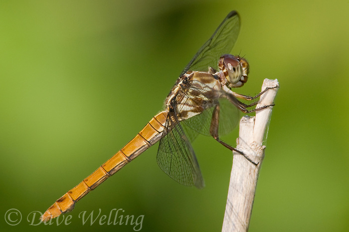 389150028 wild female roseate skimmer dragonfly orthemis ferruginea on small twig in independence park gonzales county texas
