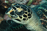The hawksbill turtle (Eretmochelys imbricata) is a critically endangered animal.