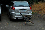 turkey and vehicle in Forestville, CA