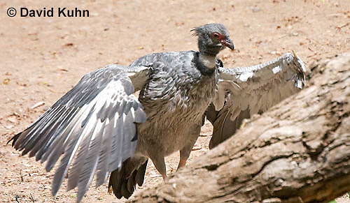 0214-1207  Southern Screamer (Crested Screamer), Chauna torquata  © David Kuhn/Dwight Kuhn Photography