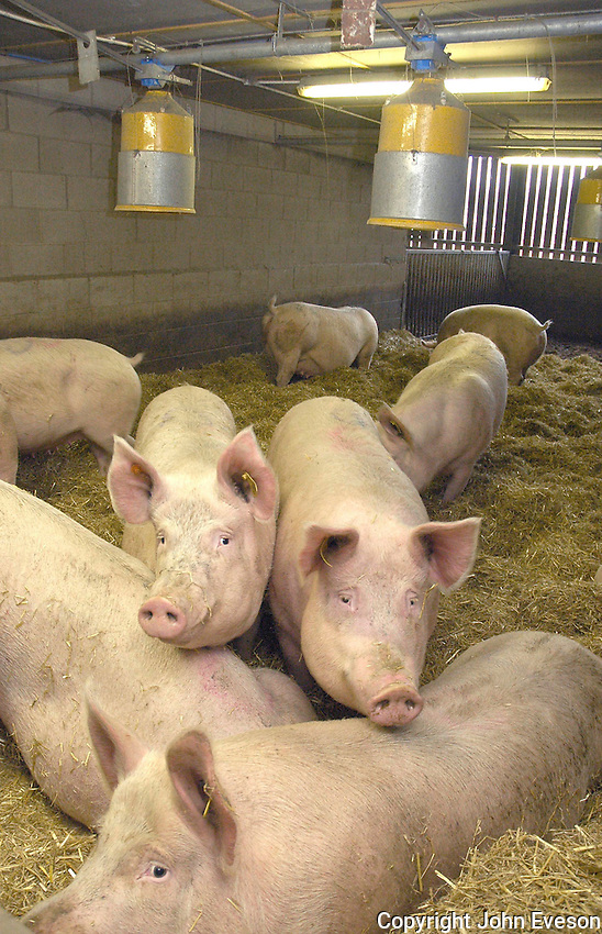 Large White sows in a straw yard with overhead dump feeders.