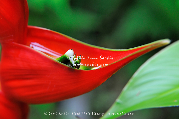 Lobster Claw (heliconia rostrata),  close-up, Big Island, Hawaii Islands, United States