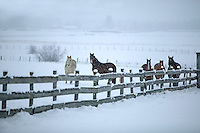 Horses in snowy pasture with fence. Near Joseph, Oregon