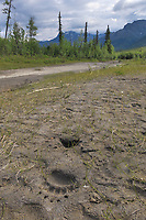 Grizzly bear tracks in the mud along a river in the Gates of the Arctic National Park, Brooks Range, Alaska.