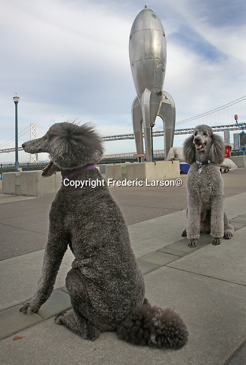 A set of poodles dogs pose along the Embarcadero's San Francisco  water front by a Spaceship with the Bay Bay Bridge in the background.