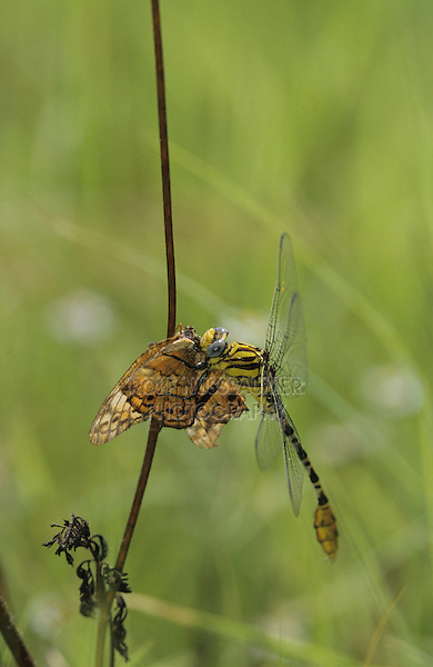 Dragonfly adult with Butterfly  prey, Lake Corpus Christi, Texas, USA, May 2003
