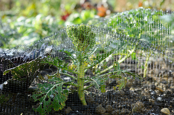 Netting Broccoli from Pigeons