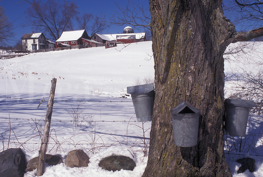 Vermont, VT, Buckets on a maple tree on a farm in Rockingham in the snow in early spring.