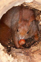 Eichhörnchen, Europäisches Eichhörnchen, frisst Haselnuss, Haselnuß, Nuss, Nuß in Baumhöhle, Höhle, Sciurus vulgaris, European red squirrel, Eurasian red squirrel