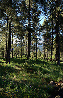 Pine trees in Canarian forrest in spring time, La Palma, Canary Islands, May 2006