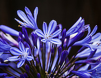 A cluster of blooms tops an agapanthus plant.