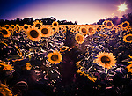 At McKee-Beshers Wildlife Management Area in Poolesville, Maryland, giant fields of sunflowers are planted each year to attract game birds.