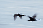 Brandt's Cormorant (Phalacrocorax penicillatus) pair flying, Santa Cruz, Monterey Bay, California