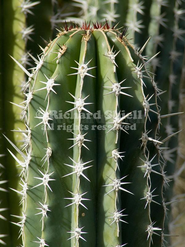 Cactus, Pachycereus pecten-aboriginum