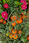 SOLANUM LYCOPERSICUM 'TUMBLING LITTLE SUN', TOMATO,  AND CATHARANTHUS ROSEUS 'BOA ROSE', MADAGASCAR PERIWINKLE OR VINCA