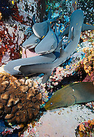 RM0073-D. Whitetip Reef Shark (Triaenodon obesus) next to Panamic Green Moray Eel (Gymnothorax castaneus). Baja, Mexico, Pacific Ocean.<br /> Photo Copyright &copy; Brandon Cole. All rights reserved worldwide.  www.brandoncole.com