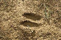 Roe Deer prints - Capreolus capreolus