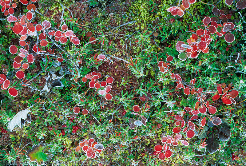 Morning frost on dwarf birch and cranberry, Denali National Park, Alaska