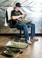 Ryan Williams (cq) trims marijuana buds at the Medicine Man grow house in Denver, Colorado, Tuesday, March 5, 2013. With Colorado's Amendment 64, the state has been working to decide how it will transition to legalized marijuana in the state...Photo by Matt Nager