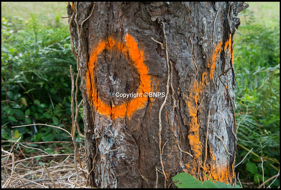 BNPS.co.uk (01202 558833)<br /> Pic: PhilYeomans/BNPS<br /> <br /> The drilled holes are marked on the protected pine tree's.<br /> <br /> Police have launched an investigation after two mature trees were drilled into and poisoned by an unscrupulous homeowner in order to improve their sea view. <br /> <br /> Residents in the picturesque West Cliff area of Bournemouth, Dorset, were furious after they discovered the sophisticated attempt to kill off the pair of 30ft Scots pines.<br /> <br /> They believe the trees have been deliberately poisoned so they will have to be felled, giving a better view of Poole Bay from luxury flats overlooking the cliff and leading to an increase in the value of the property.<br /> <br /> Police and council officials are now investigating the criminal damage which has involved someone making numerous drill holes deep into the trunks of the two trees to pour in poisonous chemicals.