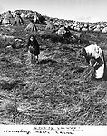 Harvesting near Carna in County Galway
