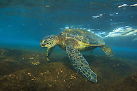 Evening glow on a sea turtle or honu on the North Shore of O'ahu.