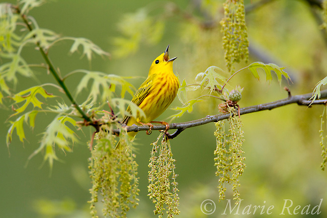 Yellow Warbler (Setophaga (formerly Dendroica) petechia) male in breeding plumage singing amid oak catkins and leaves in spring, New York, USA
