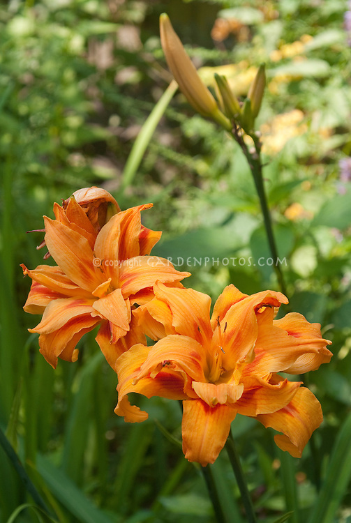 Double orange daylily Hemerocallis fulva flore pleno