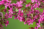 Purple prince flowering crab apple tree