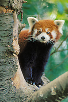 Red Panda (Aiulurus fulgens), China.