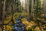 Boulder Brook, aspen leaves, yellow, fall, color, autumn, afternoon, forest, nature, scenic, Rocky Mountain National Park, Colorado, Rocky Mountains, USA