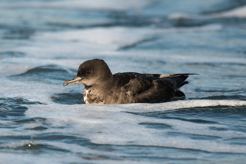 Short-tailed Shearwater, Ballina, New South Wales.