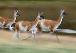 Guanaco running, Torres del Paine National Park, Chile