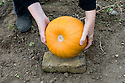 "Lift pumpkins on to bricks, stones or slats of wood to keep them off the damp soil while they ripen or ""cure"". Mid September."