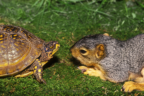 Ornate box turtle, T. Carolinsis, and a sleepy baby eastern fox squirrel meet face to face in the grass
