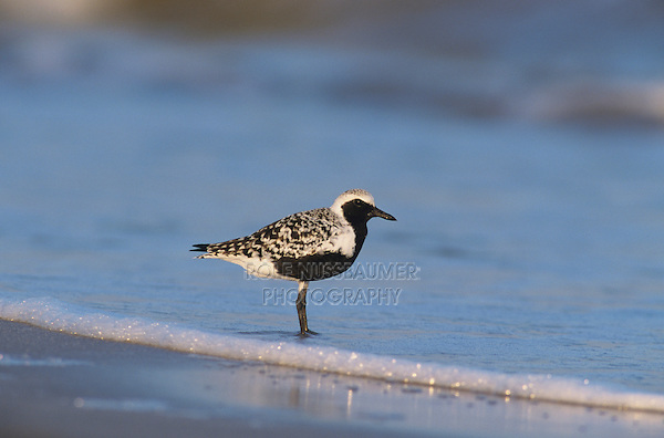 Black-bellied Plover, Pluvialis squatarola, adult breeding plumage, Bolivar Flats, Texas, USA