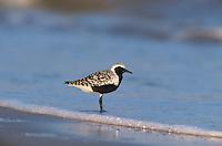 Black-bellied Plover, Pluvialis squatarola, adult breeding plumage, Bolivar Flats, Texas, USA