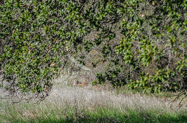 Wild Bobcat (Lynx rufus) resting in the grass along edge of hillside in Central California.  December.  (Completely wild, non-captive cat.)