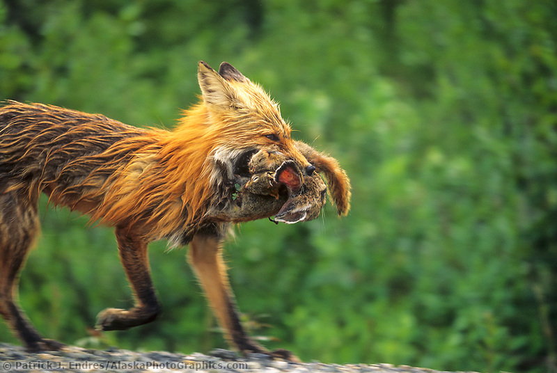 Red fox returns from a hunt with a ground squirrel, red squirrel and snowshoe hare crammed in the mouth, Denali National Park, Alaska
