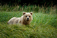 Alaska coastal brown (grizzly) bear sits in grass.  Lake Clark National Park Alaska.  Summer. <br /> <br /> Photo by Jeff Schultz/SchultzPhoto.com  (C) 2018  ALL RIGHTS RESERVED<br /> Amazing Views-- Into the wild photo tour 2018
