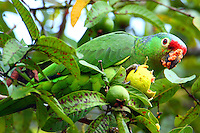 Red-lored parrot eating guava