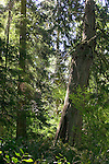 Seattle, Seward Park, in-city old growth conifer forest, Washington State, Puget Sound, Pacific Northwest, USA,.