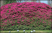 BNPS.co.uk (01202 558833)<br /> Pic:  PhilYeomans/BNPS<br /> <br /> Spot the gardener??<br /> <br /> Shrubzilla - Britain's biggest rhododendron bush has burst into flower early after ideal conditions have produced a stunning display.<br /> <br /> The majestic shrub, that measures 120ft long and 50ft high, is within the gardens of the exclusive South Lodge Hotel in Horsham, West Sussex.<br /> <br /> And head gardener Paul Collins is going to need a bigger set of shears to prune the mountainous shrub that is actually native to the Himalayas.<br /> <br /> The plant is currently covered in hundreds of vibrant purple flowers having benefited from a mild winter that was boosted by a wet February.<br /> <br /> The rhododendron - Rhododendron arboreum Smithii in Latin - was planted more than 120 years ago by Victorian explorer Frederick Du Cane Godman.