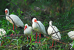 A nest of White Ibis at a rookery at the Pinckney Wildlife Refuge in Hilton Head, SC.