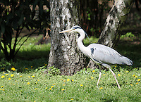 Stock image of a grey heron walking in flowers and grass in the Berlin zoological garden.<br />